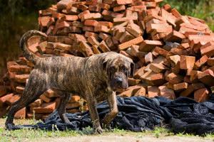 加纳利犬呕吐怎么办 西班牙加纳利犬呕吐处理方法