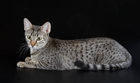 埃及猫视网膜炎原因有哪些 视网膜炎病因介绍