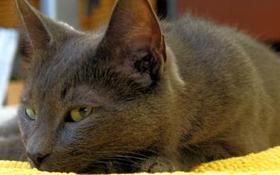 科拉特猫生病有什么表现 科拉特猫生病表现