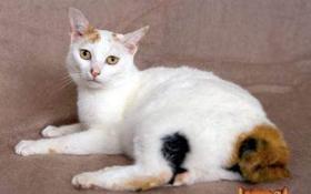 日本短尾猫身上有小疙瘩怎么回事