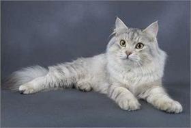 西伯利亚猫怎么治疗猫癣 猫癣治疗手段