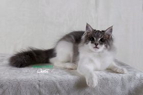 西伯利亚猫肾衰怎么办 猫咪肾衰原因介绍