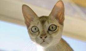 新加坡猫打呼噜怎么回事 新加坡猫打呼噜原因介绍