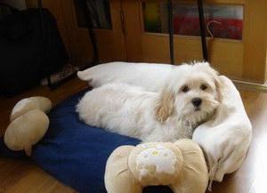 迷你贝吉格里芬凡丁犬感冒的症状及治疗方法
