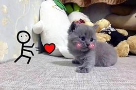 俄罗斯蓝猫肝硬化怎么治疗 猫咪肝硬化临床症状