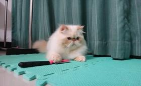 喜马拉雅猫尿结石怎么办 猫咪尿结石解决办法