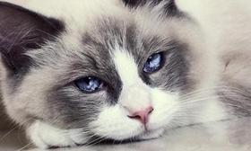 布偶猫有什么遗传病 布偶猫不纯种遗传病