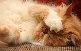 波斯猫拉肚子怎么办 波斯猫拉肚子解决办法