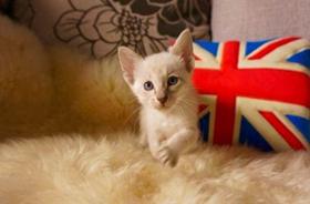 东方短毛猫贫血有哪些症状 猫咪贫血症状