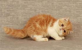 加菲猫总是流眼泪怎么办 加菲猫流眼泪解决办法