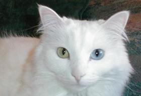 安哥拉猫失聪怎么办 猫咪失聪原因介绍