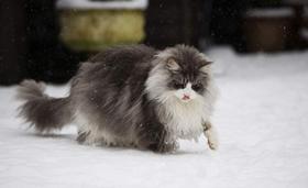 缅因猫肚子胀气怎么办 猫咪肚子胀气治疗方法