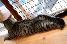 美国短毛猫怎么治疗猫瘟 美短猫瘟治疗方法
