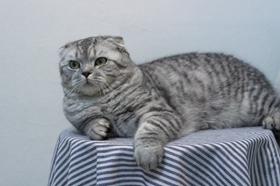 折耳猫打喷嚏怎么办 哪些原因导致打喷嚏