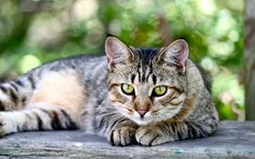 美短幼猫呕吐怎么办 美国短毛猫呕吐原因分析