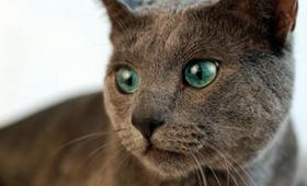 怎么判断蓝猫是否得气胸 俄罗斯蓝猫气胸的症状