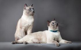 暹罗猫打喷嚏怎么办 暹罗猫打喷嚏原因