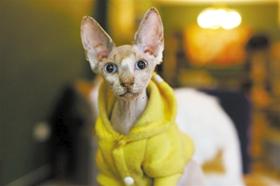 加拿大无毛猫咳嗽怎么办 猫咪咳嗽的预防措施