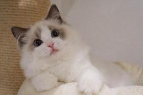 布偶猫生病了怎么办 布偶猫生病照顾注意事项