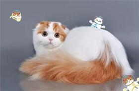 褴褛猫生病怎么护理 褴褛猫生病护理方法