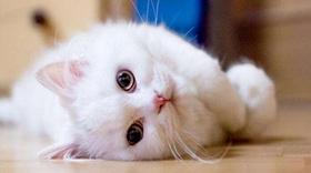 山东狮子猫尿频怎么办 狮子猫尿频解决办法