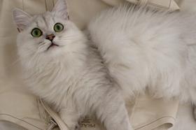安哥拉猫脱水怎么回事 猫咪脱水原因介绍