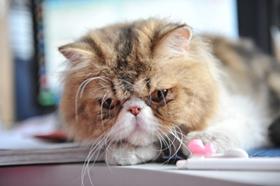 异国短毛猫耳朵掉毛怎么办 加菲猫耳朵掉毛原因