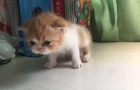加菲猫怎么体外驱虫 加菲猫体外驱虫方法