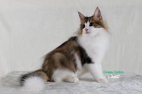伯曼猫尿结石怎么办 猫咪尿结石治疗方法