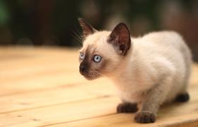暹罗猫注射疫苗前注意什么 注射疫苗注意事项