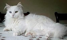伯曼猫脑炎怎么治疗 猫咪脑炎治疗方法