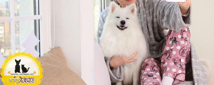 怎么给萨摩耶量体温 你知道如何分辨狗狗发烧吗