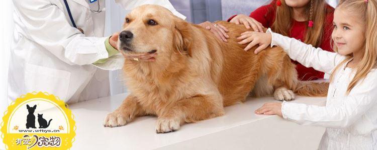 金毛扁桃体发炎怎么办 这些治疗方式尽早知道