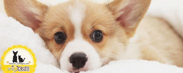 狗狗体外寄生虫 狗狗寄生虫分为哪些你都知道吗