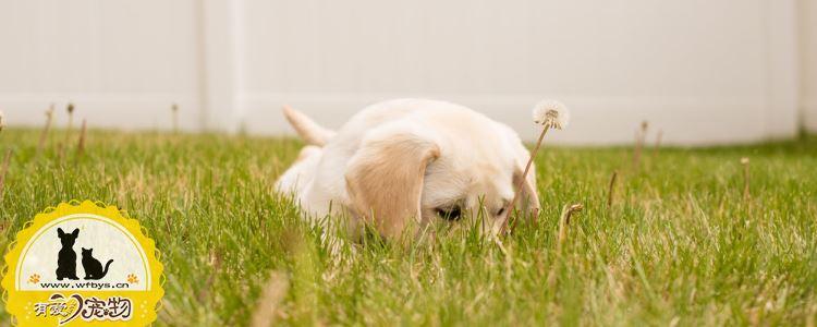 狗狗得了糖尿病的症状 狗狗出现这些症状就要小心了