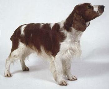 威尔士跳猎犬
