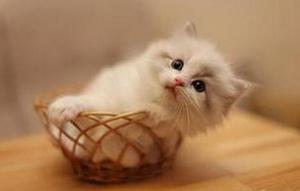 布偶猫排尿不畅怎么回事 布偶猫排尿不畅原因