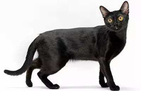 孟买猫怎么消除泪痕 孟买猫泪痕消除方法