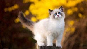 猫瘟怎么传染 猫瘟传染途径