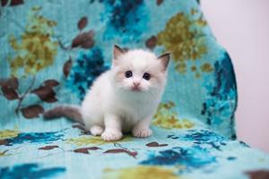 布偶猫遗传病有哪些 布偶猫遗传病治疗方法