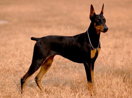 德国杜宾犬