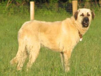 安纳托利亚牧羊犬