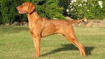 维希拉猎犬