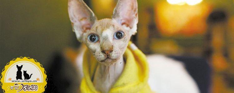 猫鼻支怎么治疗 猫鼻支治疗要点解析