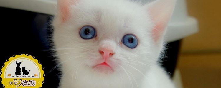 猫传腹症状 猫传腹会传染给人类吗