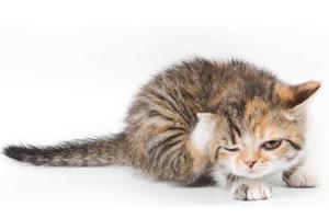 猫癣的症状有哪些