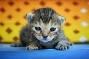 小猫打疫苗注意事项有哪些
