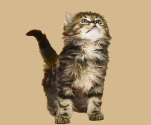 猫眼睛流脓怎么办