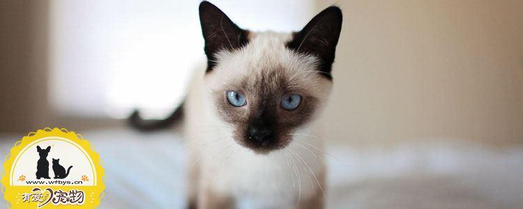 伯曼猫毛发护理攻略 让你撸猫如撸真丝
