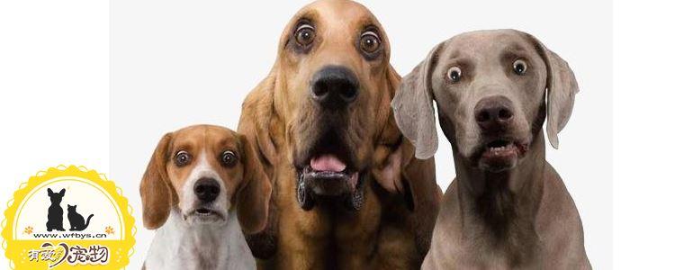 犬心丝虫病症状 犬心丝虫病会传染人吗